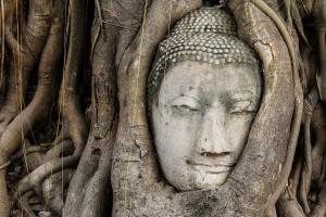 Buddha head in a tree trunk, Wat Mahathat